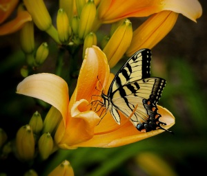 butterfly on daylilly copy