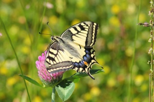 yellow swallowtail-butterfly