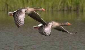 canada-geese copy 2