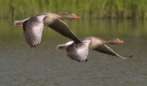 canada-geese copy 2