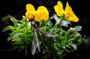 dragonfly on pansies