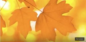 Golden Maple Leaf copy