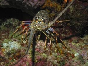 ocean lobster