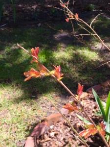 crepe myrttle buds