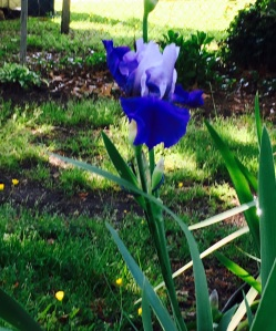 Mom's Iris too copy