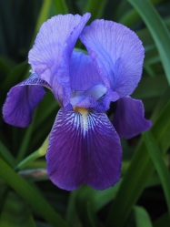 purple iris copy