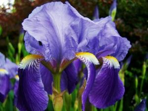 Fleur-de=lis iris