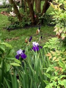 Grammie's iris