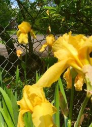 Yellow iris close