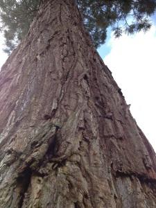 Huge vertical redwood copy