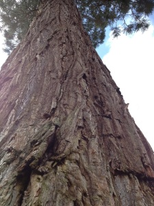 Huge vertical redwood copy