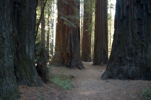 massive ca redwoods copy