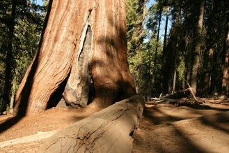 redwood dying copy