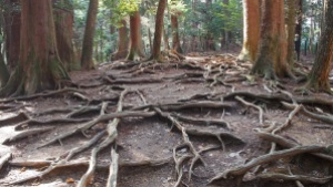 redwood roots copy