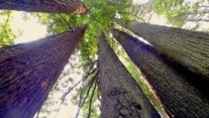 redwoods upward view copy