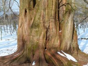sequoia tribe copy