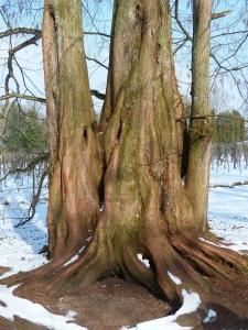 sequoia tribe of three trees copy