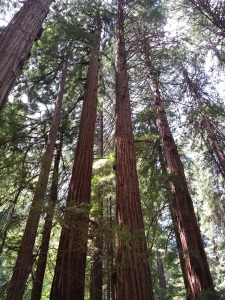 Tall redwoods copy