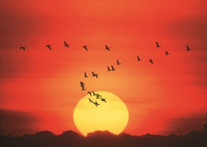 canada-geese-against-sunset