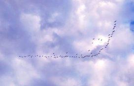 geese-against-blue-sky-copy