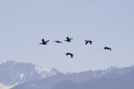 geese-in-mountains-copy