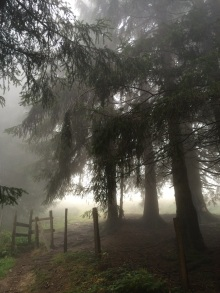 pine-trees-in-fog-copy-2