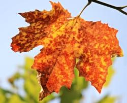rusty-leaf
