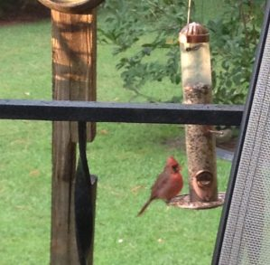 cardinal-at-the-feeder-copy