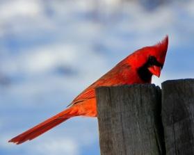 cardinal-copy