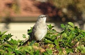 mockingbird-copy