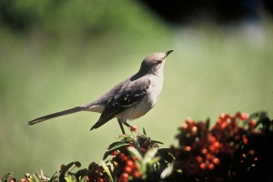 mockingbird-in-the-holly