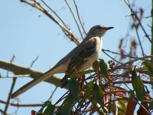 mockingbird2-copy