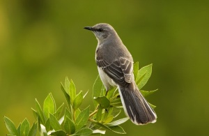 young-mockingbird-in-the-bay-tree